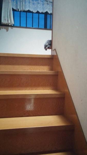 階段の上からこちらを見る犬