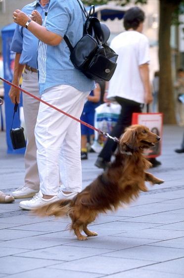 リードを引っ張る犬の写真