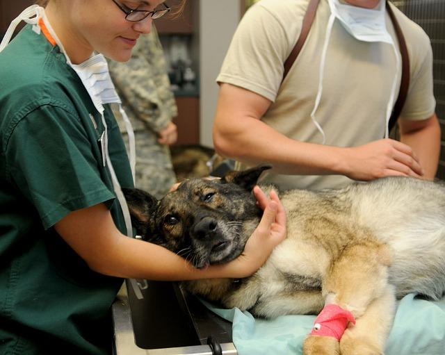 手術する獣医