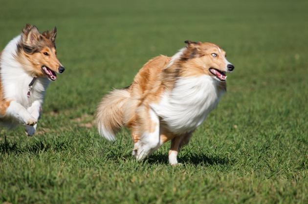 ドッグランで走る犬