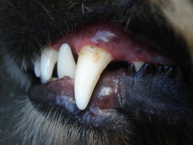 ペット保険の犬の歯に関するトラブル