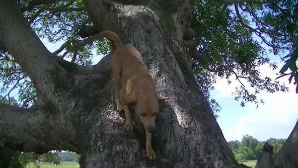木から下りてくる犬