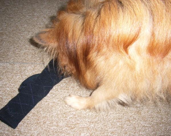 下に落ちた靴下のにおいをかいでいる