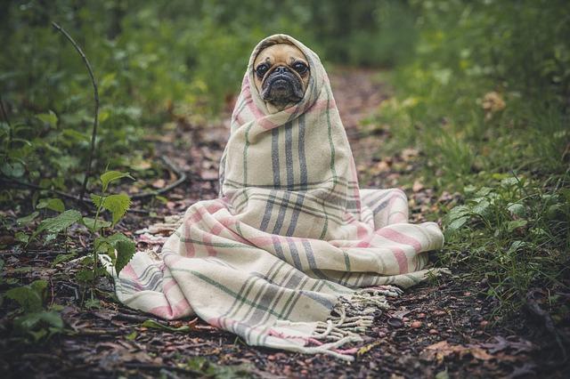 毛布に巻かれる犬