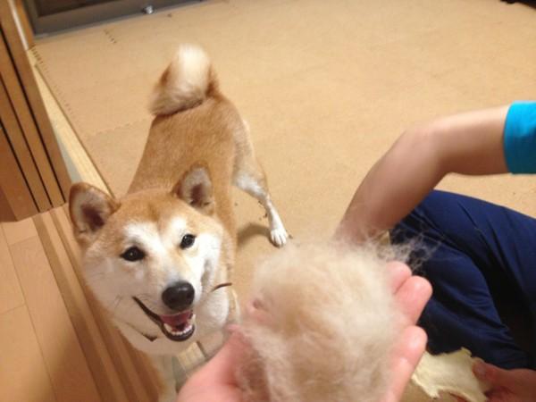 柴犬の毛はよく抜ける