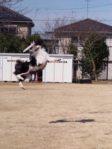 フリスビーする犬