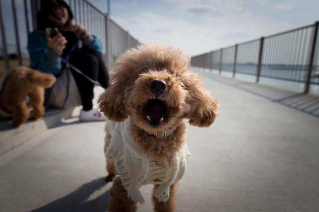 賢い犬の代表トイプードル
