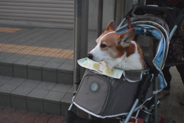 コーギー犬が単独でカートに乗っているカート