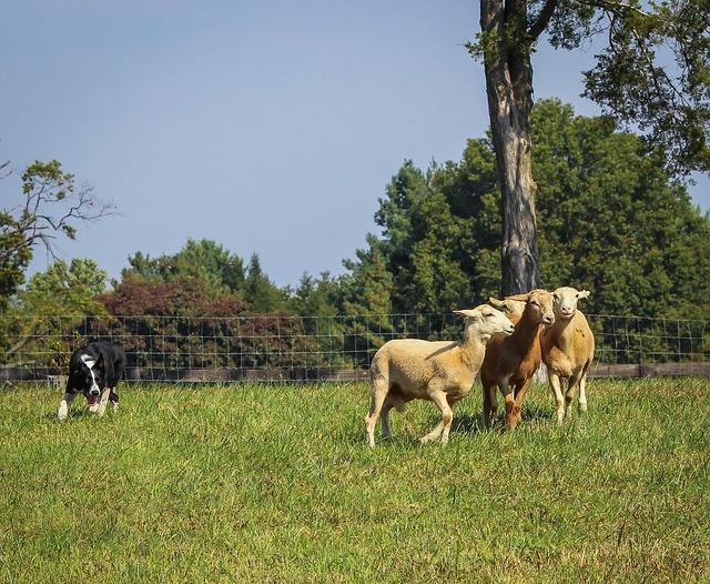 羊を誘導するボーダーコリー