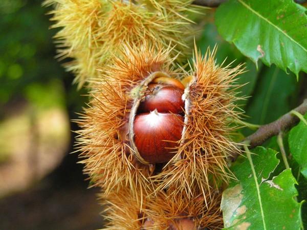 栗の木の写真
