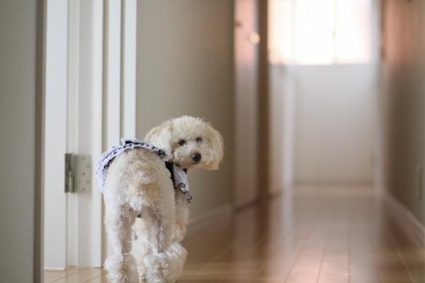 廊下で振り返るホワイトプードル洋服着用
