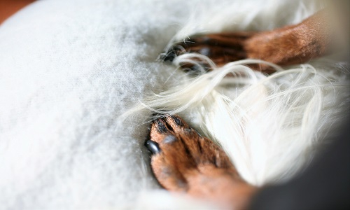 犬 足 白いふわふわのクッション