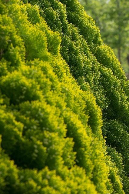 並んでいるヒバの木々
