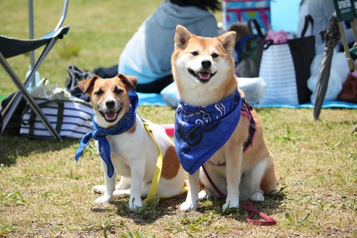 柴犬とジャックラッセルの写真