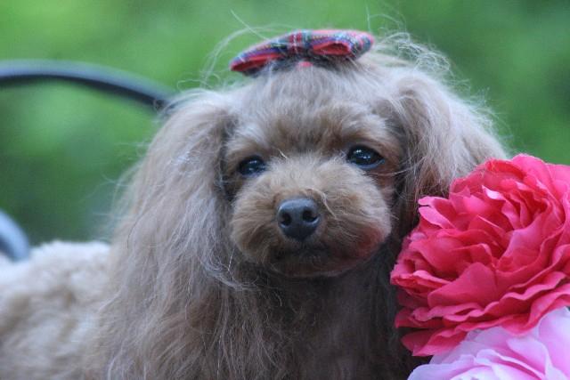 リボンをつけた犬。女の子のイメージ