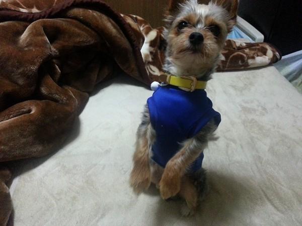 ちんちんしている青い服の犬