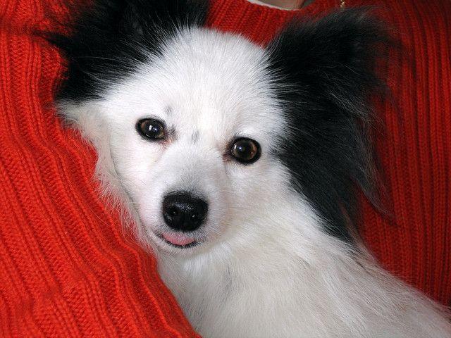 パピヨン 子犬