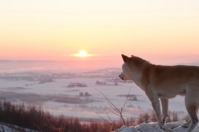 後ろ姿の柴犬の写真