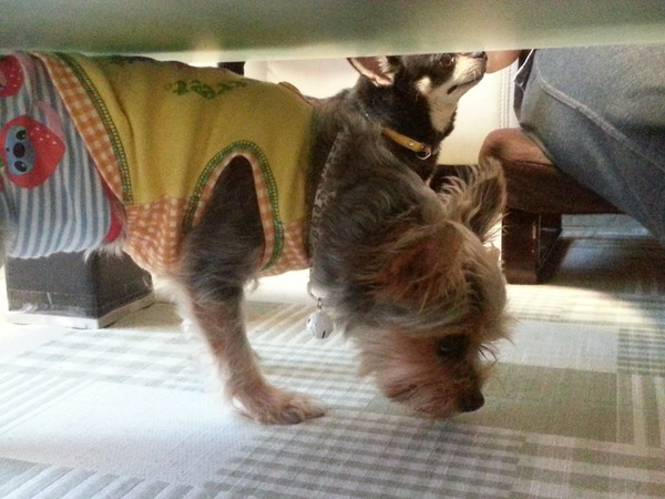 テーブルの下を嗅いでいる犬