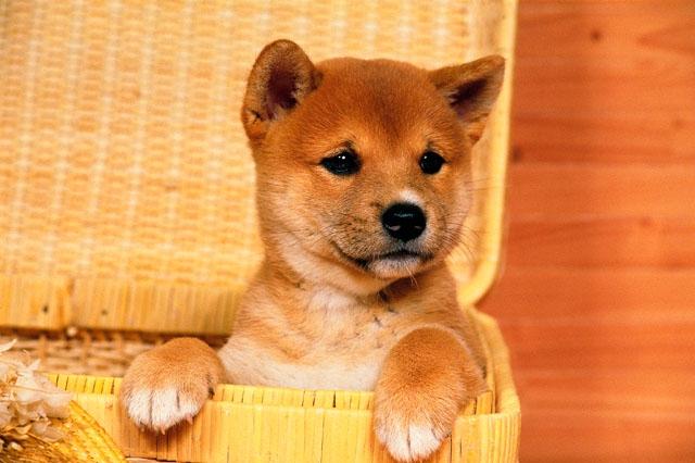 カゴの中の柴犬の子犬
