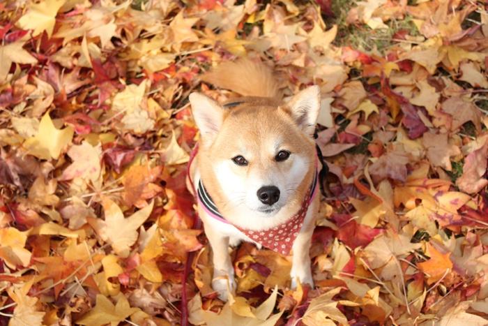 落ち葉と柴犬