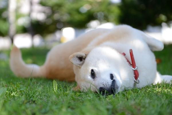 芝生 仰向け 寝っ転がる柴犬