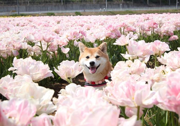 ピンクのチューリップに囲まれる柴犬