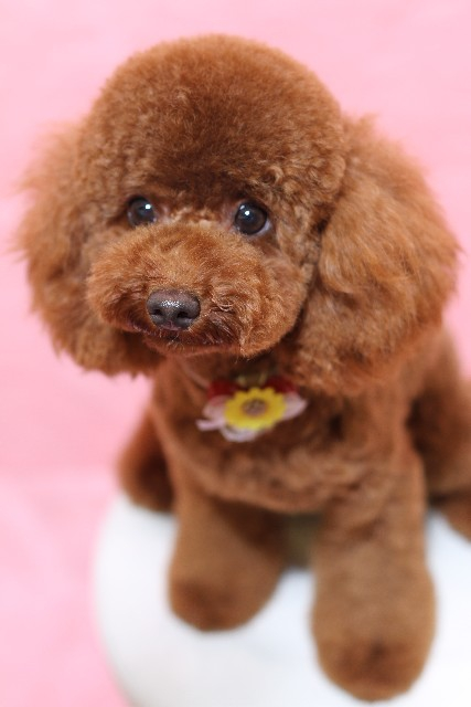小型犬人気上位のトイプードル