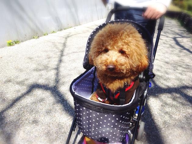 ペットカートに乗ってる犬