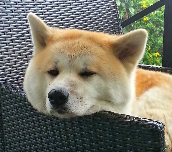 眠そうな秋田犬