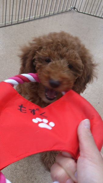 子犬が赤いおもちゃで遊んでいる