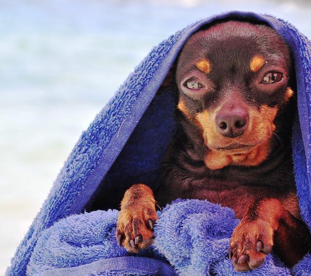 毛布にくるまるピンシャー