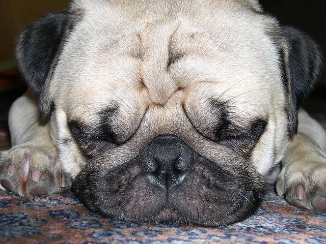パグの寝顔