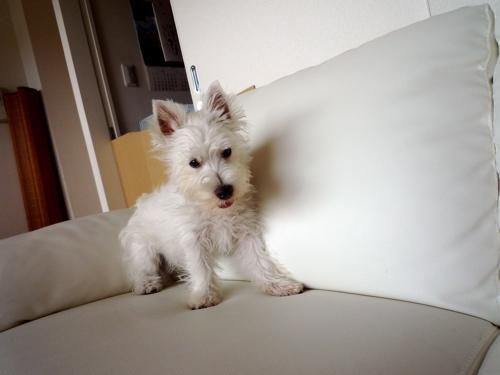 ソファの上の子犬