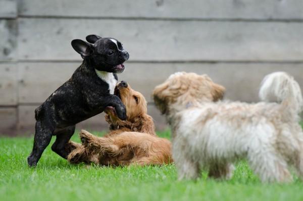 じゃれ合う3匹の犬
