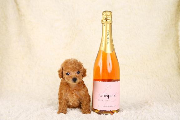 シャンパンとティーカッププードル