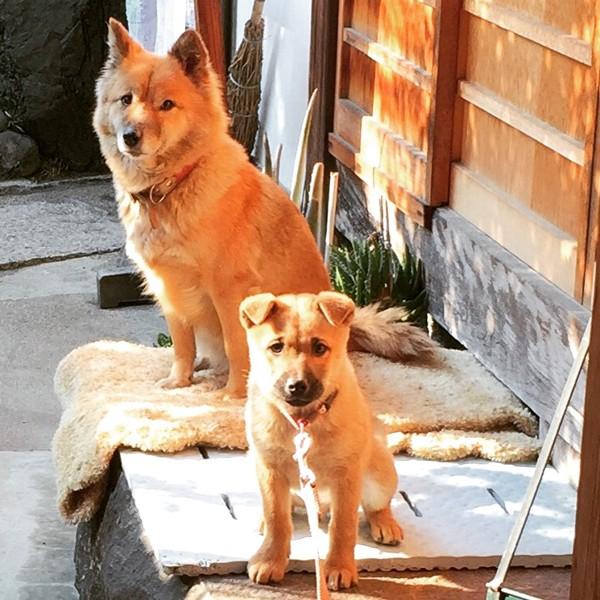 日本犬 2匹