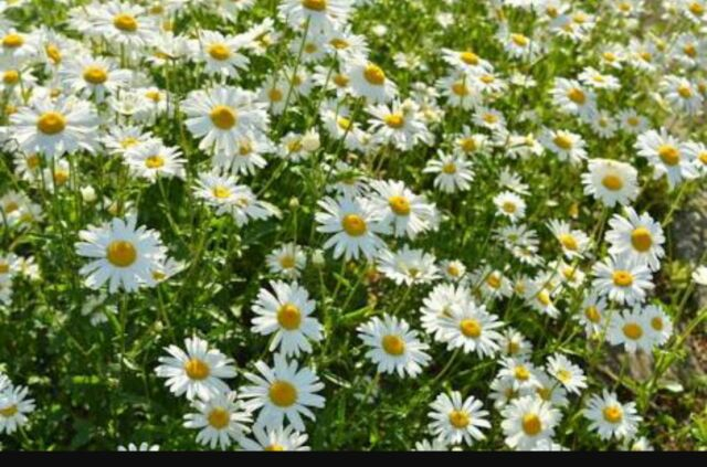 菊のお花の画像