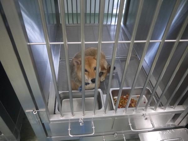 保健所の檻の中の犬柴系