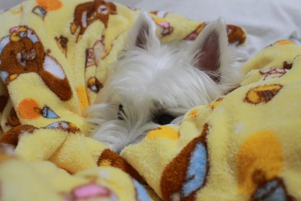 黄色のはんてんの上で寝ている犬の写真