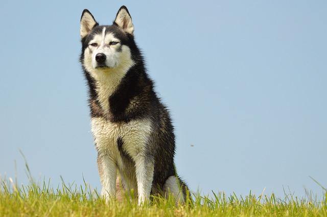 草むらのハスキー犬