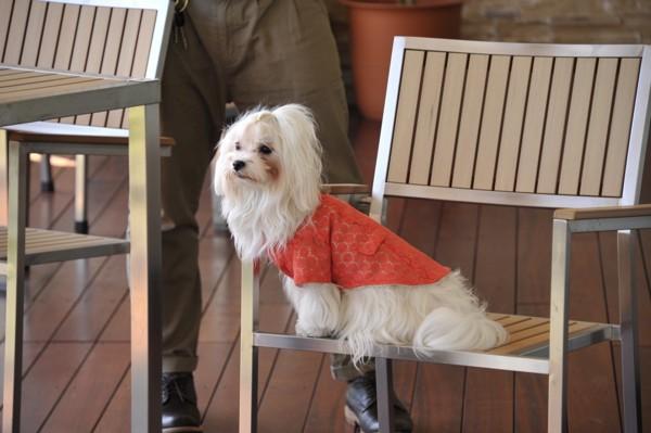 ドッグカフェの椅子に座る犬