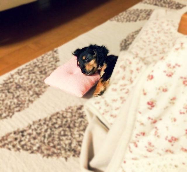 こたつで寝ている犬の写真