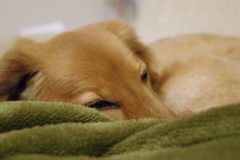 ゆっくり休む子犬