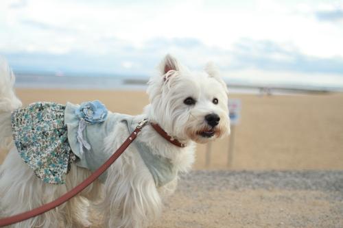 砂浜で水色のワンピースを着ている犬
