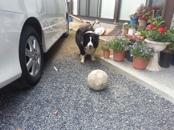 ボールを構えて待つボーダーコリー