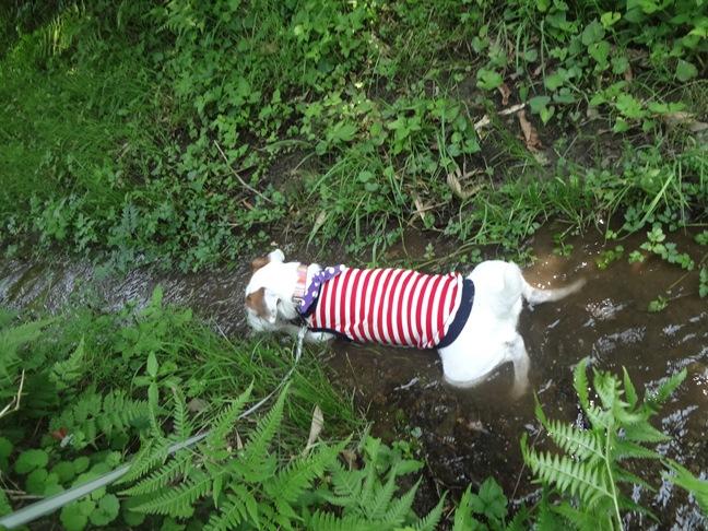小川でお腹を冷やす犬の写真
