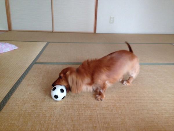 ダックスがサッカーボール型のボールを噛んでる