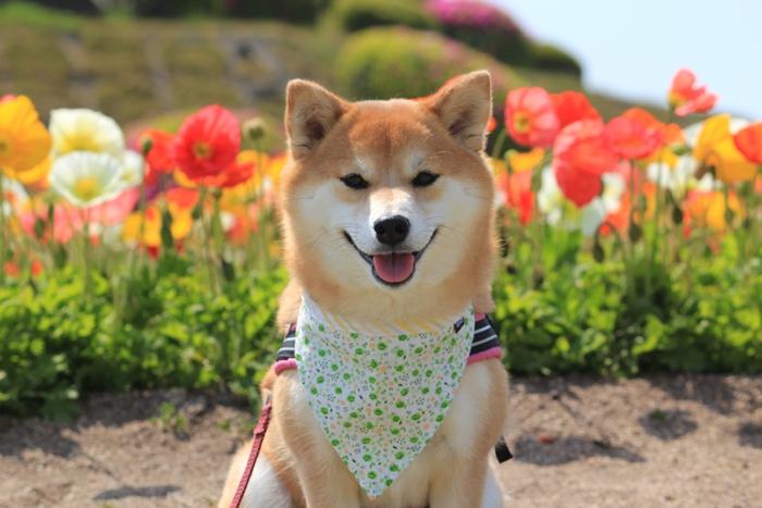 ポピーの前で笑顔の柴犬