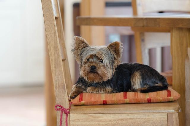 小型犬人気上位のヨークシャー・テリア